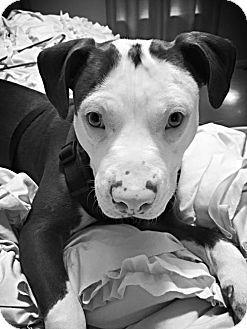 Gilbertsville, PA - Pit Bull Terrier Mix. Meet Willie, a dog for adoption. http://www.adoptapet.com/pet/12755400-gilbertsville-pennsylvania-pit-bull-terrier-mix #rescue #pitbull #mostlymuttz #adoptdontshop #mostlymuttzrescue www.mostlymuttz.org