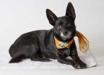 Check out *Beau's profile on AllPaws.com and help him get adopted! *Beau is an adorable Dog that needs a new home. https://www.allpaws.com/adopt-a-dog/chihuahua/6591595?social_ref=pinterest