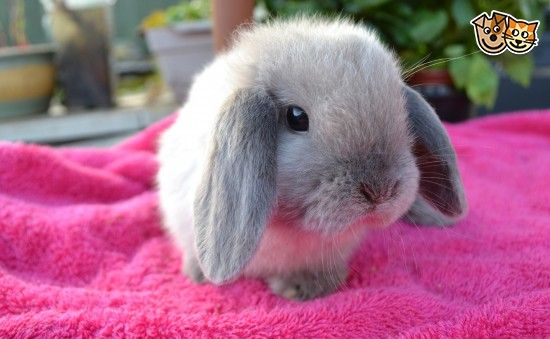 Stunning seal-point mini lop baby rabbits for sale | Bristol, Bristol | Pets4Homes