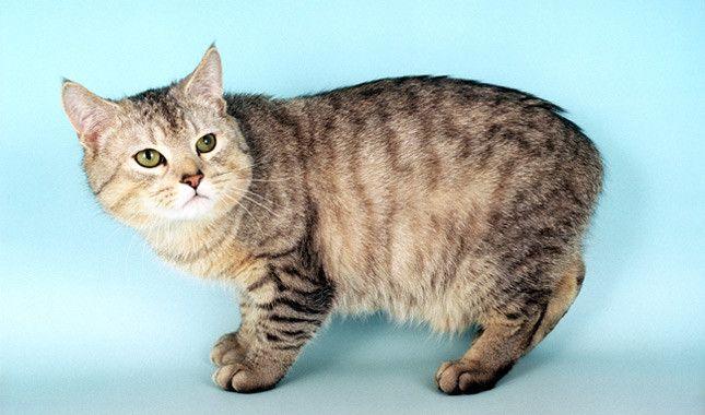 """Stimpy of """"The Ren & Stimpy Show"""" is a Manx cat"""