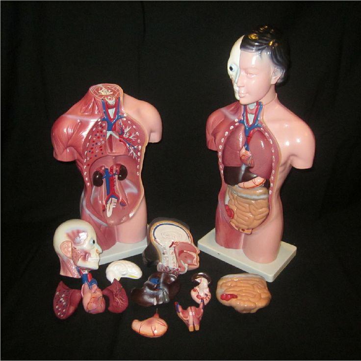 114 best Applam Anatomical Models images on Pinterest | Spinal nerve ...