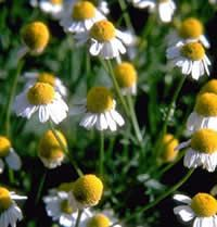 Cooled chamomile tea used as a hair rinse brings out the highlights in blonde or light colored hair.