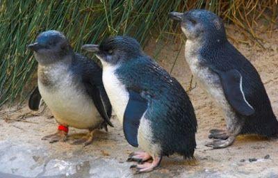 InFacts Hub: World's Smallest Penguins in Danger