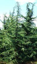 Cedrus deodara ' Kashmir ' Himalayan Cedar