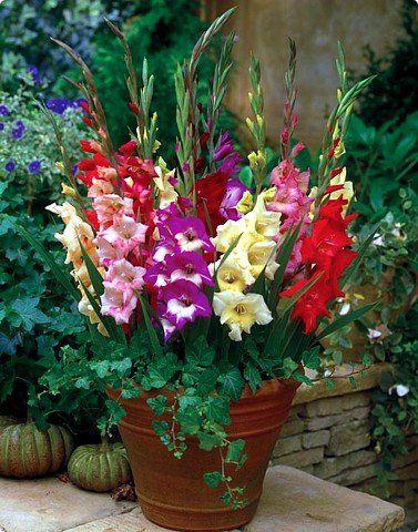 Glamini® Dwarf Gladiolus Mix - Bing images