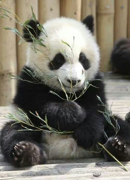 Panda eating bamboo                                                                                                                                                      More