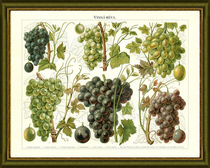"""6 druhů vinné révy, jaké se u ná pěstovaly v 19. století, úžasné názvy jako např. """"Volské oko"""""""