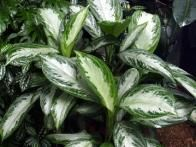 Chinese evergreen  (Aglaonema ) is perhaps the best foliage plant for low light and low humidity, and it's easy to root in water!