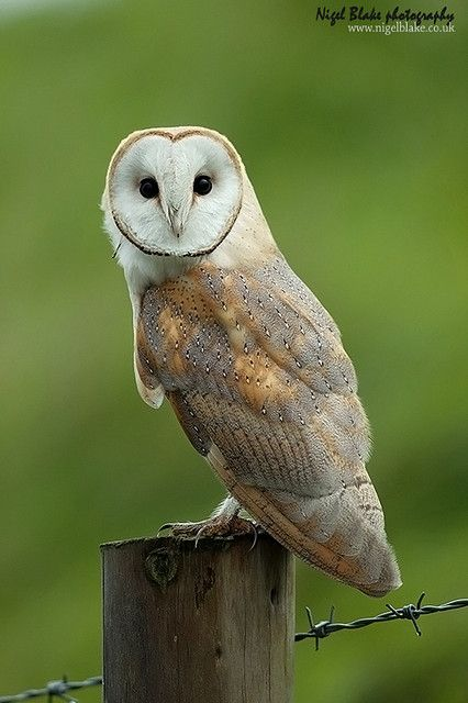 Barn Owl (Tyto alba) on fence post - Picture 1 in Tyto: alba - Location: UK. Photo by Nigel Blake.