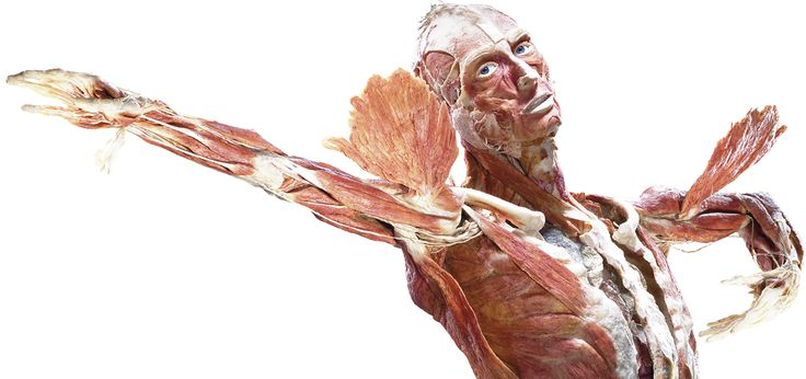 Echte menselijke lichamen tonen het effect van geluk op je gezondheid bij anatomie tentoonstelling BODY WORLDS: The Happiness Project in Amsterdam.