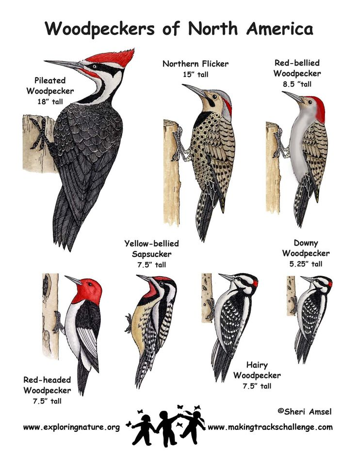 1082 best images about BIRDS of Missouri on Pinterest ...