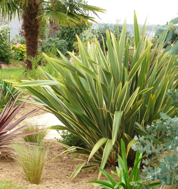 Phormium Tenax Variegatum Variegated New Zealand Flax
