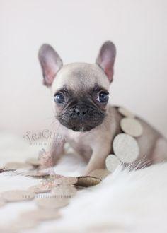 Tiny French Bulldog French Bulldog Puppies Teacup Puppies