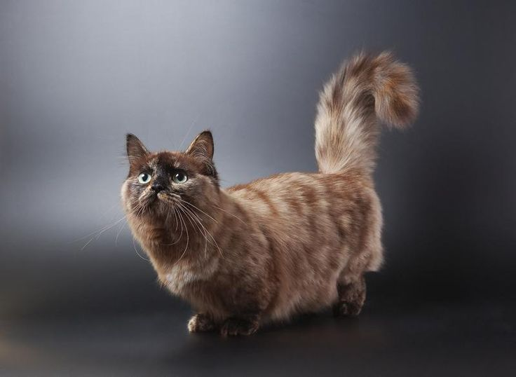 Pictured Here Is A Longhaired Munchkin Cat If You Choose To Get - Meet albert the cutest munchkin cat on the internet
