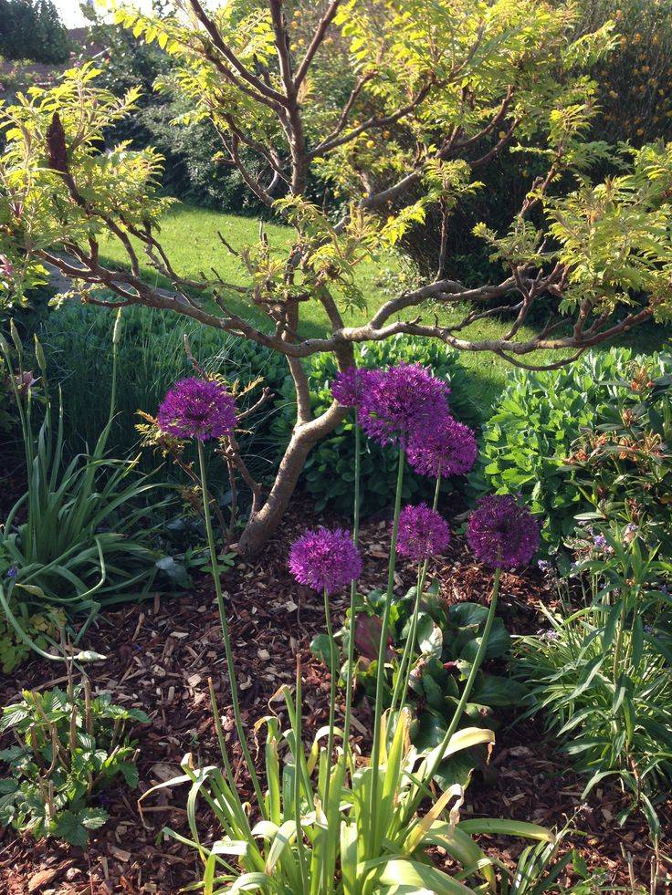 May is full of flowers - ornamental onions
