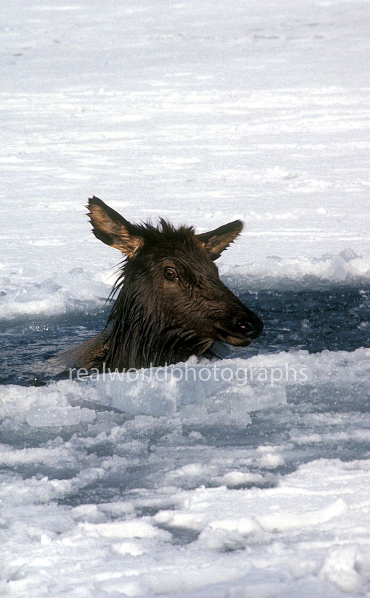 An elk is trapped in the Bow River in Banff National Park, Alberta, Canada. 1992. Gary Moore photo. #banff #realworldphotographs #wildlife #photojournalism #garymoorephotography #animals
