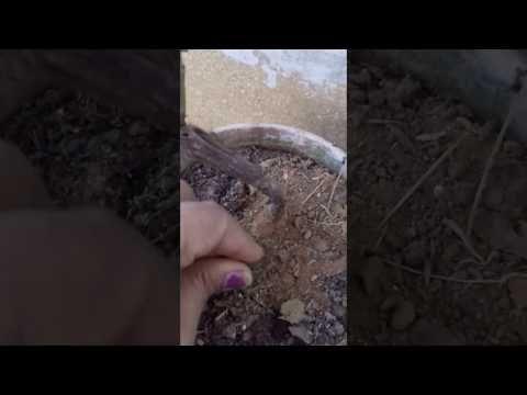 Bada gulab kayse khilayn - YouTube