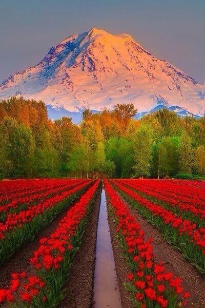 Tulip fields ~ Mount Rainier, Washington | http://www.etips.com