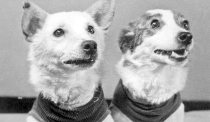 Soviet space dogs Belka and Strelka after their return from space. 1960.