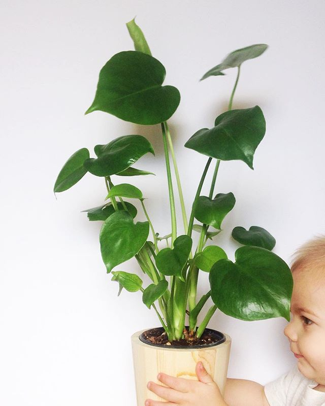 Monstera Deliciosa Baby Plant Swiss Cheese Plant