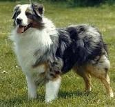 Australian Shepherd Looks like my Cooper!