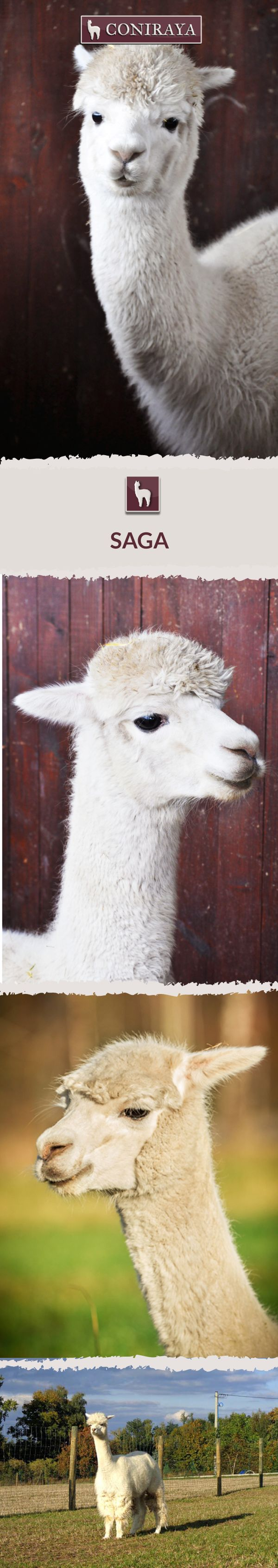 Meet Coniraya - Saga. This Alpaca was born in 2009 and its fiber is in color: White. Check out more details on our site!