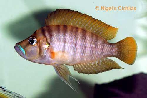 Altolamprologous compressiceps kigoma, Lago Tanganyika Cichlid