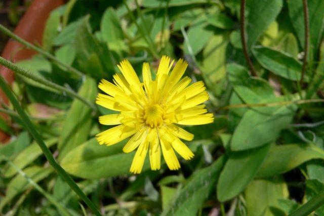 Hieracium pilosella - Épervière poloselle - Mouse Ear