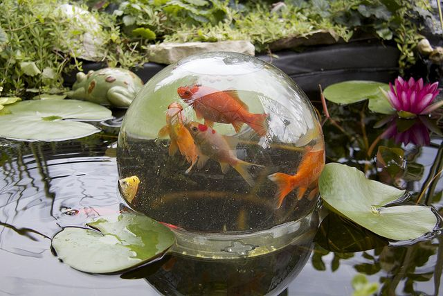 Chasingthegreenfaerie fish bowl by ktgeek on flickr for Outdoor goldfish pond ideas