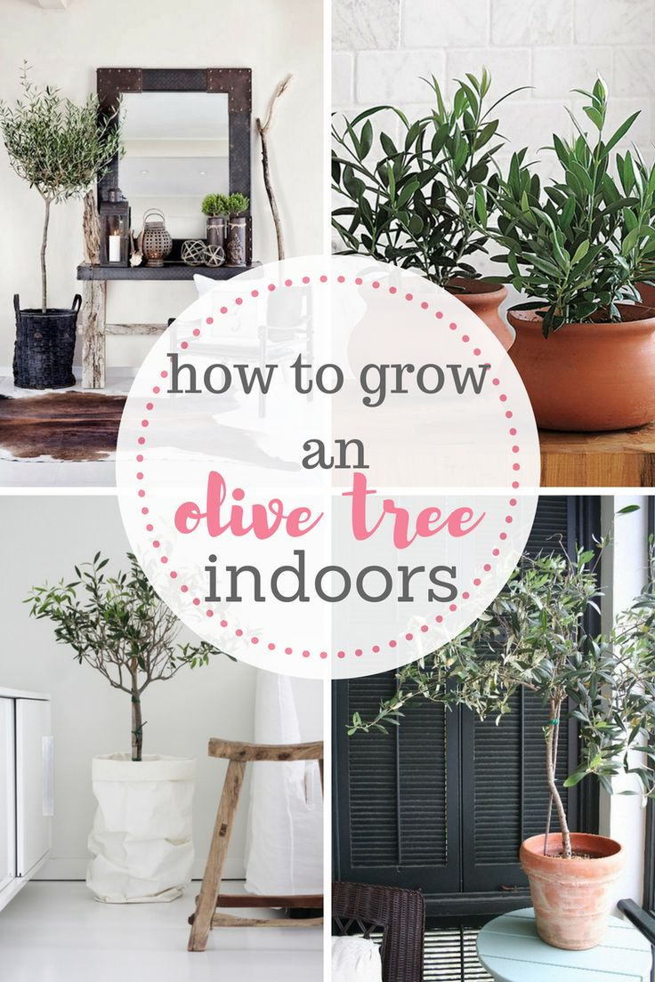 Learn how to grow an olive tree indoors! It's easier than you might think! Growing an Olive Tree, How to Grow an Olive Tree, Growing an Olive Tree indoors, Indoor Gardening, Indoor Gardening Hacks, Gardening Tips and Tricks