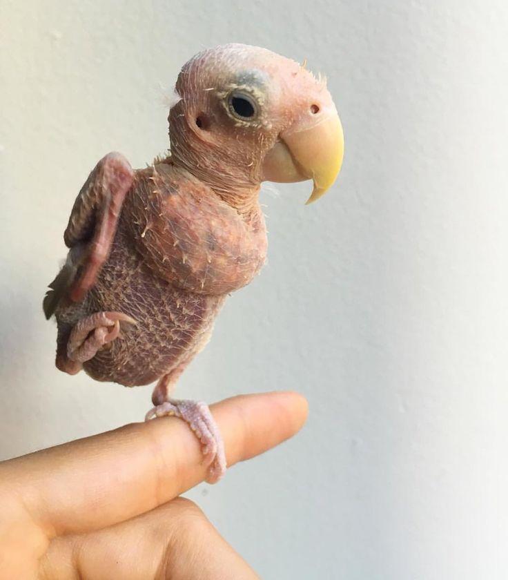O passarinho pelado que encantou a internet