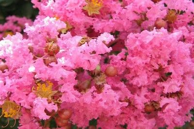 LILAS DES INDES fleurs roses - LAGERSTROEMIA INDICA