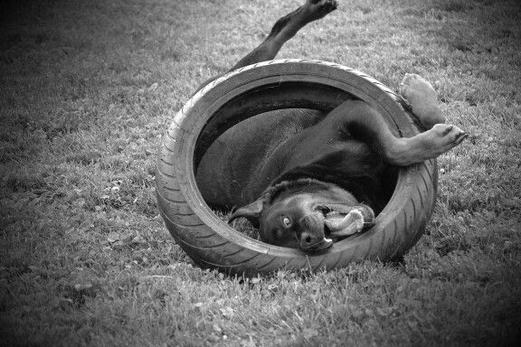 A puppy and his tire.