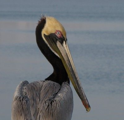 Brown Pelican | Tattoos | Pinterest