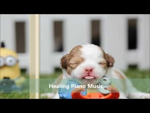 강아지가 좋아하는 음악 (힐링, 휴식, 숙면) Puppy's Favorite Music (Healing, Rest, Sleep)