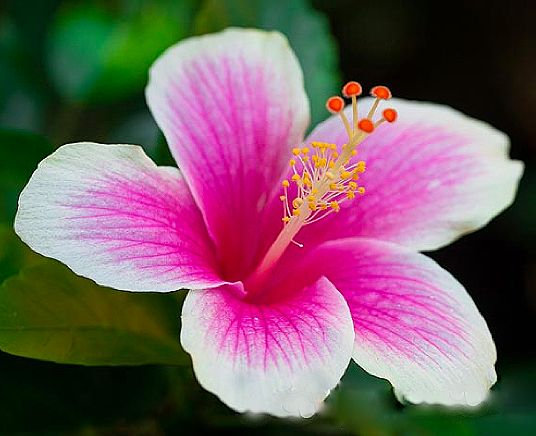 Hawaiian flower - Hibiscus #Hawaii