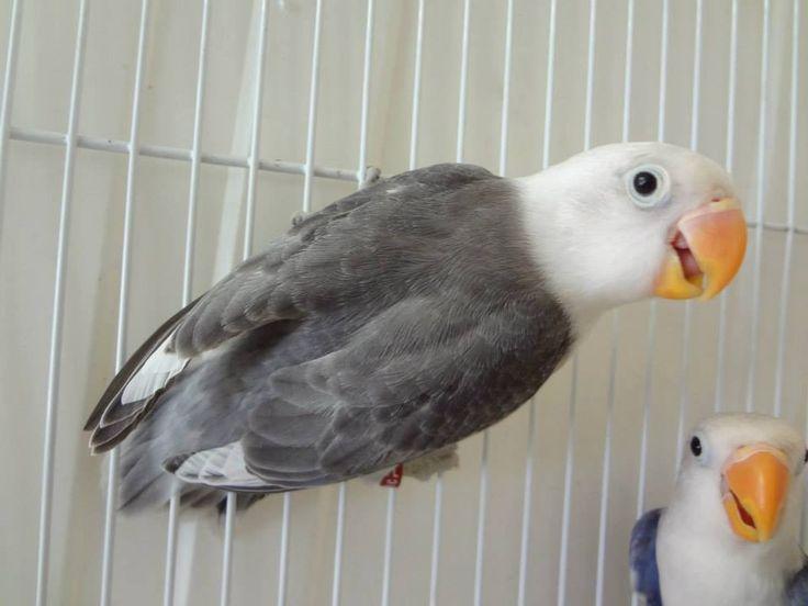 sable Fischer lovebird (mauve?)