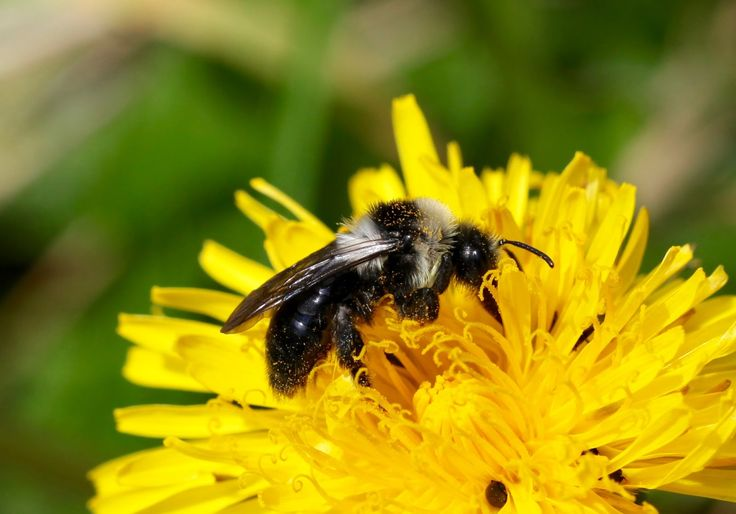 Andrena cineraria ( Ashy mining bee)    What's the first thing that springs to mind when you hear the word ' bee '? For many people this w...