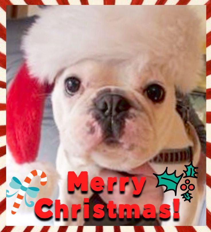 Merry Christmas! French Bulldog in Santa Hat❤️