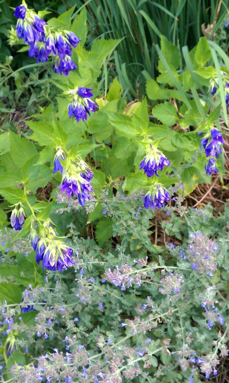 June 27: Campanula 'Kent Belle' (hybrid bellflower), Nepeta faassenii (catmint)