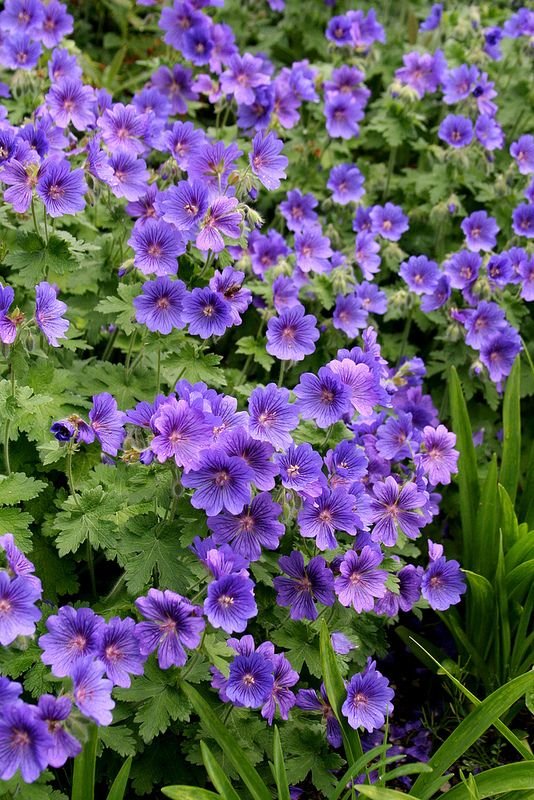 17 best images about geranium kakost on pinterest for Purple flower ground cover perennial