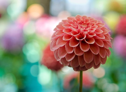 Who can tell me what flower it is ?-by Linda Walker: Amazing Flowers, Color, Dahlias, Art, Pretty Flowers, Beautiful Flowers, Bloom, Garden
