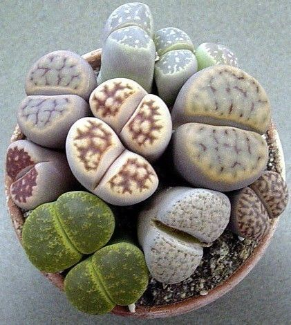 Lithop plants. I used to have one, but it died. They look like brains growing more brains.
