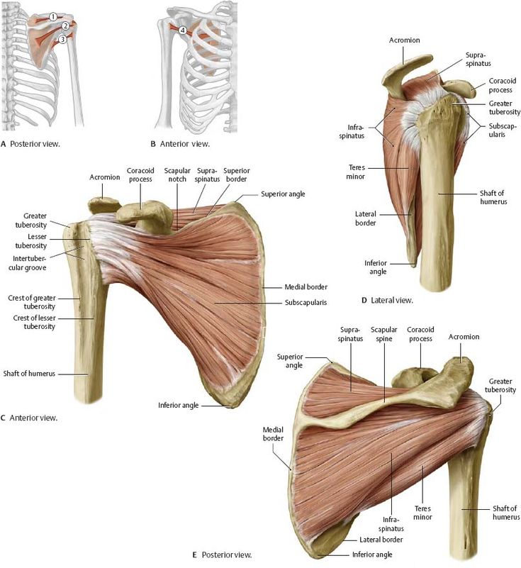 Scapula anatomy muscles