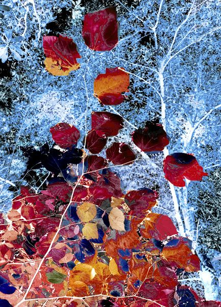 Looking up at fall leaves. I turned this image into black and white and then I added color using photoshop.