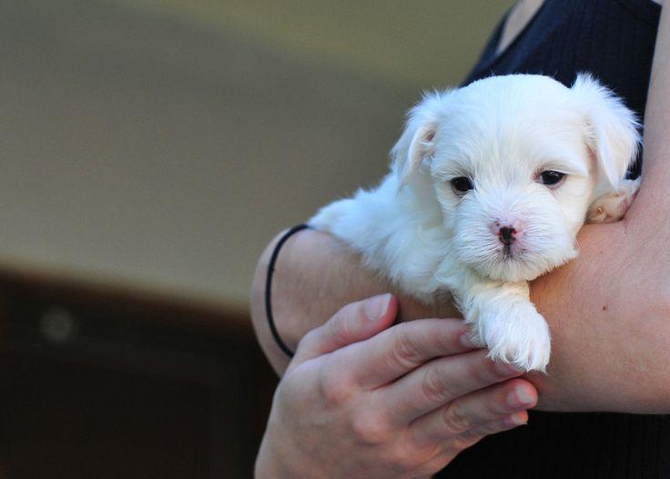 Мальтийская болонка, фотографии собак породы Мальтийская болонка