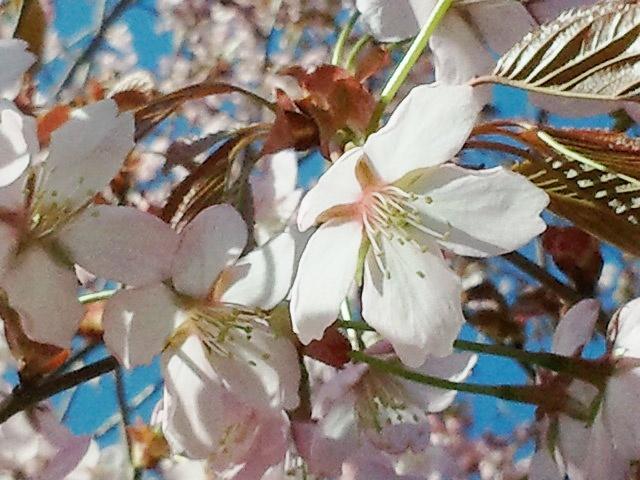 Kevättuulessa Hanamin aikaan