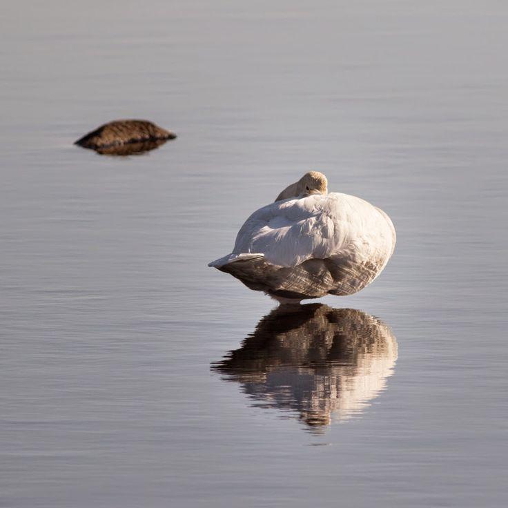 Swan, by Heikki Rantala