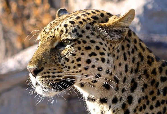 A beautiful female leopard in the Linyanti #MigrationsRoute #Botswana #safari http://www.wilderness-safaris.com/explorations