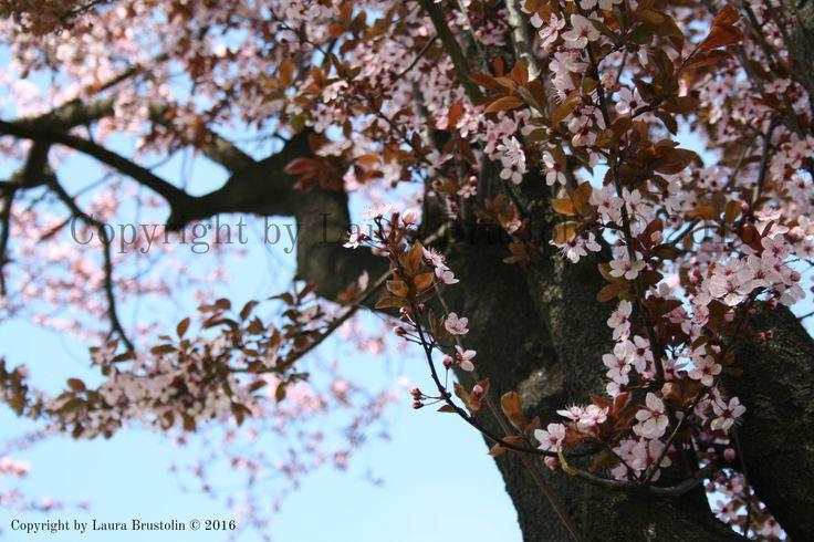 Cherry Blossom - Laura Brustolin